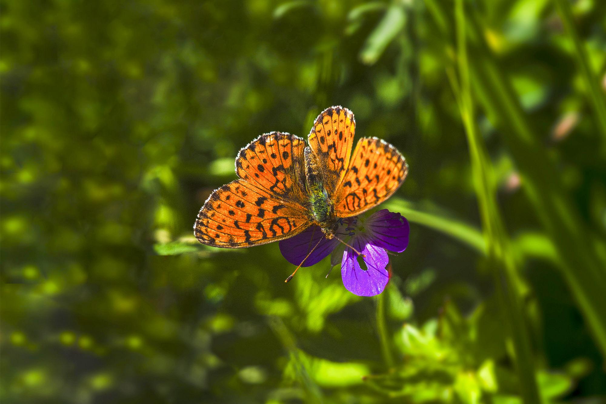 Isle of Wight Butterflies